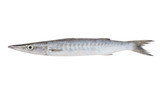 Fototapety Fresh barracuda fish on white background
