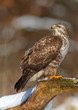 Buzzard looking over shoulder