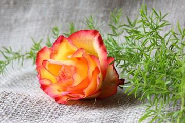 rose auf leinen
