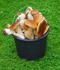 Basket of mushrooms in the grass - boletus edulis