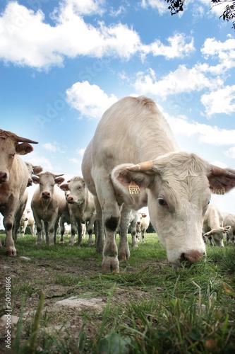 Papiers peints Vache troupeau de charolaises