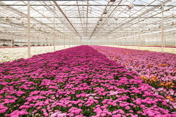 Colorful Chrysanthemums ready for harvesting