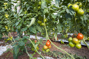 europe, italy, sicily, plants of tomatoes in a greenhouse