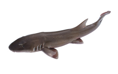 Whole fresh shark isolated on white background