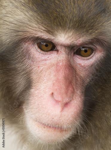 Wild monkey face