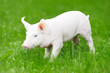 young piglet on green grass