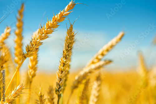 tops of wheat