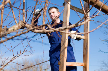Young man pruning apricot branches