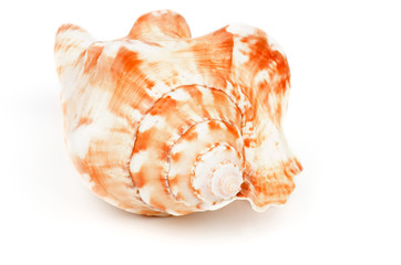 Conch Sea Shell