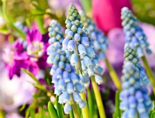 Frühlingserwachen: Traubenhyazinthen im Frühlingsblumenbeet