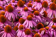 canvas print picture - Echinacea