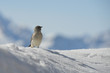 A sparrow in Dolomites snow winter time