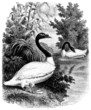Swan - Cygne à col noir - Schwan