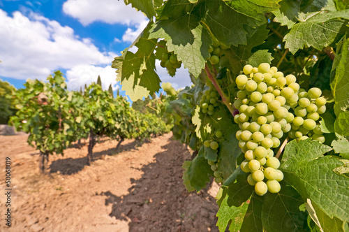 Vignoble, grappe de raisin blanc