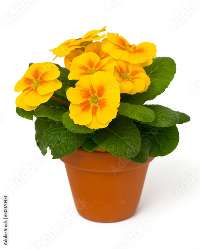 growing yellow primula flower