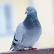 Grey Pigeon Close-Up