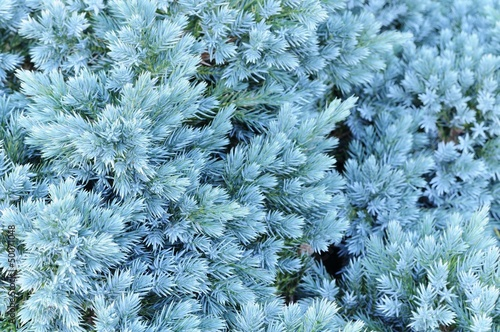 Evergreen Blue Juniper Tree Close-Up