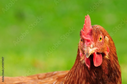 Red Domestic Chicken with Copy Space