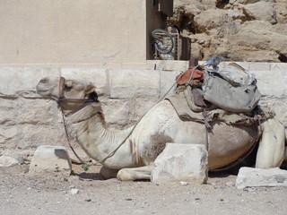 Camel at the pyramides