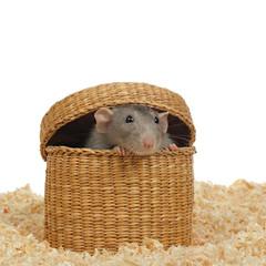 rat gris jouant dans panier
