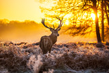 Fototapety Red deer in morning sun