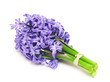 hyacinth flowers isolated on white background