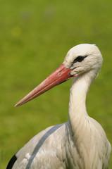 white stork - Ciconia ciconia Linnaeus