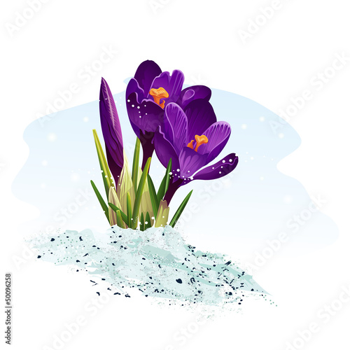 Purple crocus on a blue background.