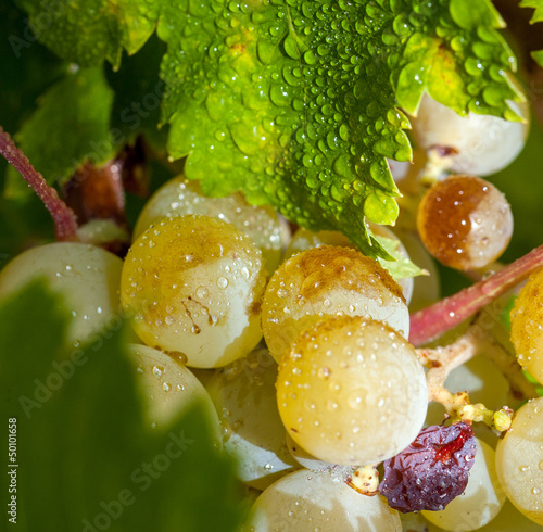 Grapes on the vine with dew drops