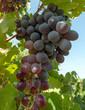 Grapes in the vine