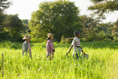 traditional asian farmer coming back from a harvest rice field i