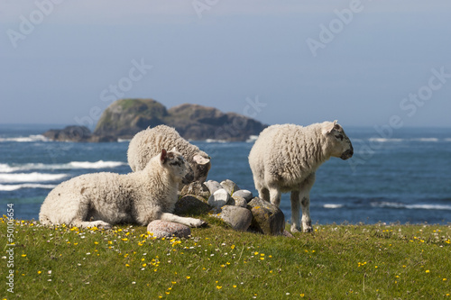 Sheep lying on the meadow