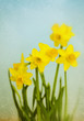 Vintage Yellow Daffodils