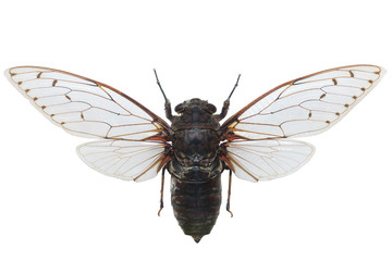 Cicada Pomponia Intermedia Macro Isolated On White