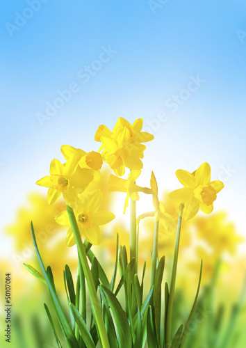 Fotobehang Narcis Yellow Daffodils Against a Blue Sky