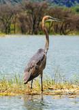 Goliath Heron (Ardea goliath), Lake Baringo, Kenya poster