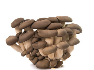 oyster mushrooms isolated
