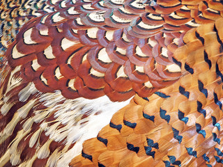 Pheasant feathers background