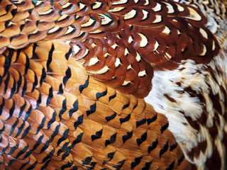 Pheasant feathers- background