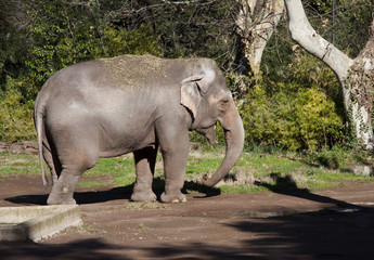 Elefante, Asia