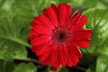 Kwiat gerbera na tle zielonych liści.