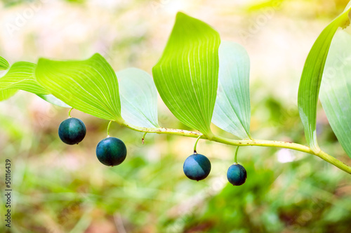 Polygonatum officinale