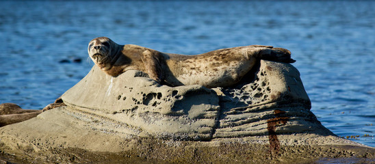 Seal relaxing on rock in ocean