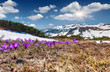 Field of blooming crocuses in the spring in the mountains