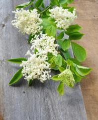 Branch flowering elder (Sambucus nigra)