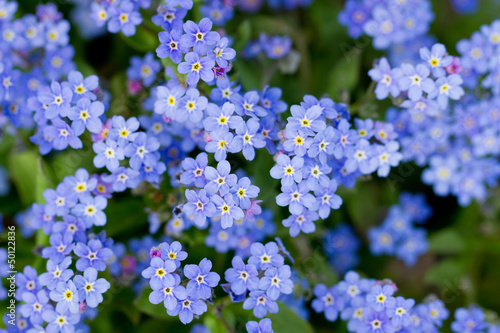 Forget-me-not - summer garden