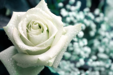Single white rose with water droplets