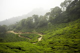 Tea gardens, Munnar, India