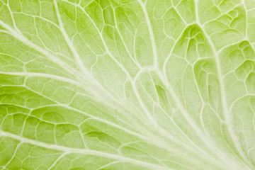 Lettuce. Green spring background
