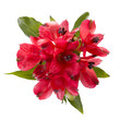 Top view of  red alstroemeria flowers isolated on white